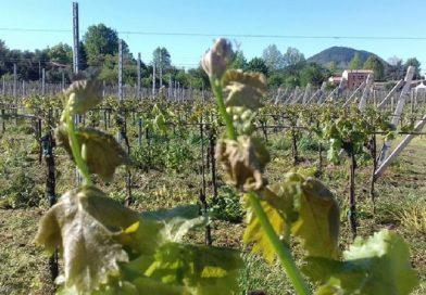 Viticoltura sostenibile in Veneto: l'analisi di Coldiretti per la produzione del vino che fa bene al territorio